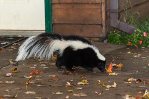 Skunk in your yard