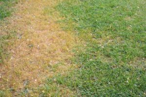 Does you have lawn grubs in your yard?