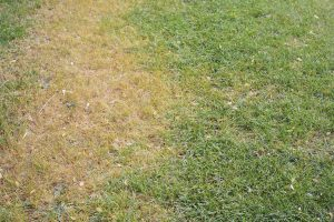 Learn how to deal with grass fungus on your lawn.