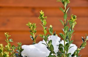 How to Maintain Your Evergreen Shrubs