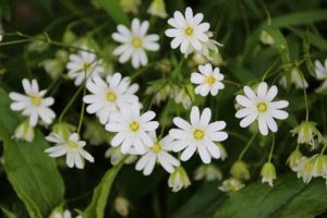 What Is Chickweed?