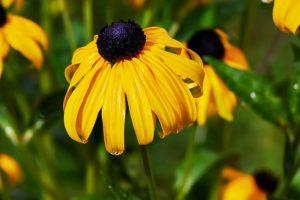 Best Perennials for Maryland