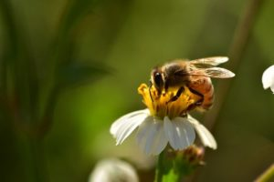 How Do Bees Pollinate?