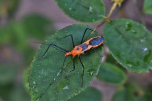 Beneficial Insects for Your Lawn
