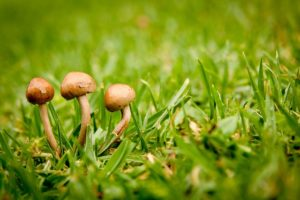 Lawn Fungus and Its Remedy